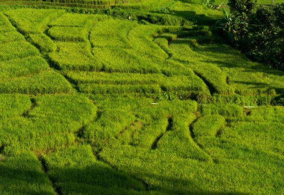 terraced rice padi fields