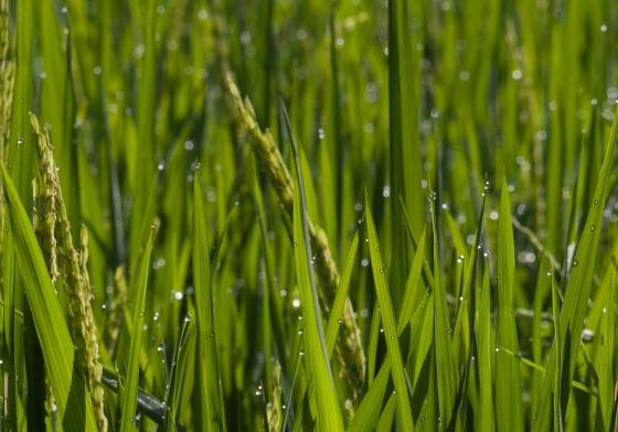 close up of padi plant