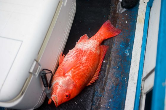 beautifully coloured red snapper