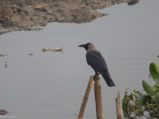 the ubiquitous crow