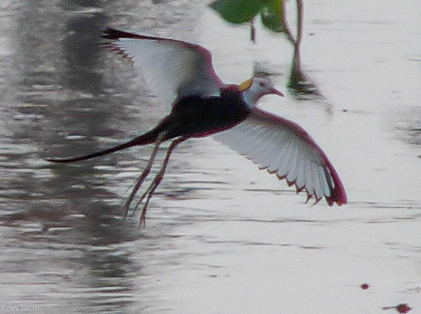 pheasant tailed jacana in flight