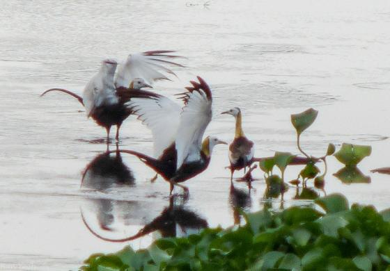 posturing phesant tailed jacanas