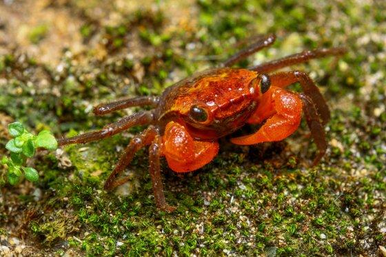 Peracca's land crab
