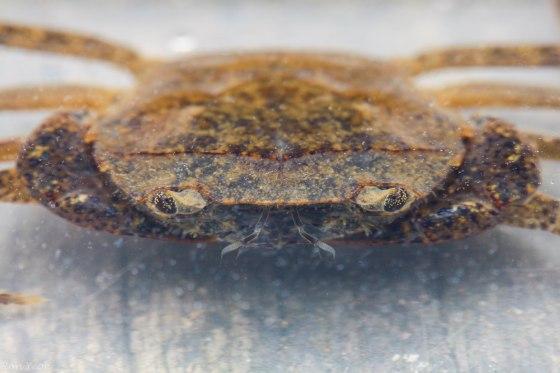 Lowland freshwater crab?