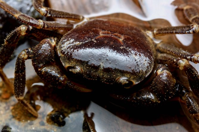 up close with the Singapore Freshwater Crab