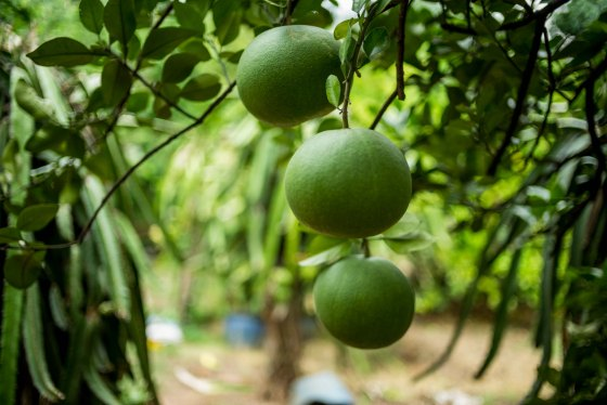 pomelos hanging from the tree