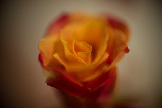 a rose..