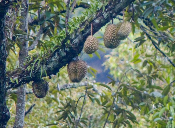 durians hanging high up
