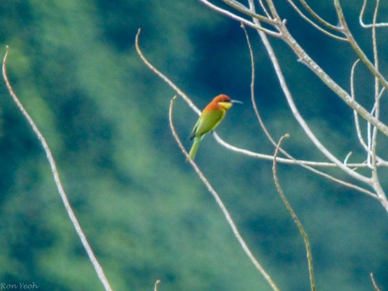 chestnut capped bee eater