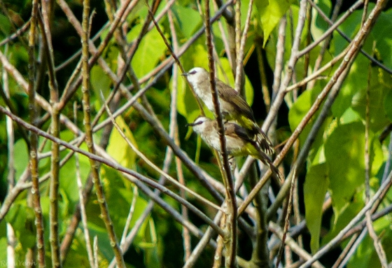 pair of bulbuls