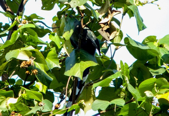 obscured view of green billed malkoha...can just see the yellow-red eye facial features...