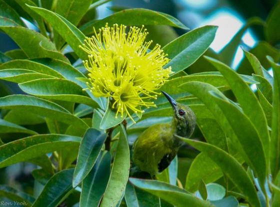 sunbird feeding