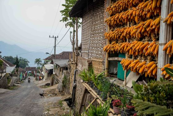 drying corn in the village