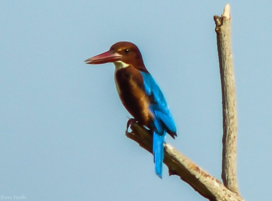white throated kingfisher from afar..
