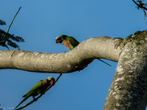 there were also lots of common long tailed parakeets
