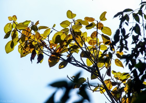 the sun rose and the leaves caught the light