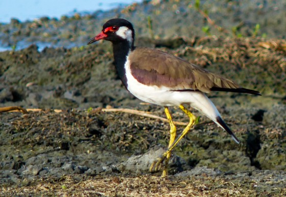 The common red wattled lapwing