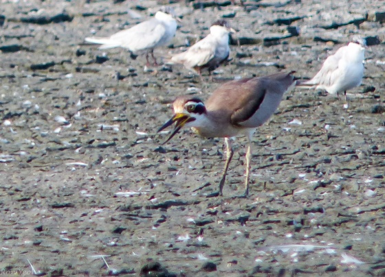 another thick-knee