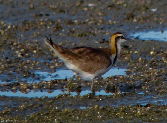 Eurasian thick-knee or stone curlew