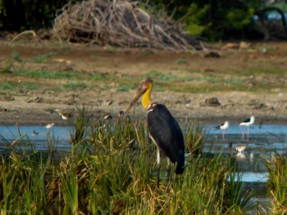 The hard to find Adjutant Stork