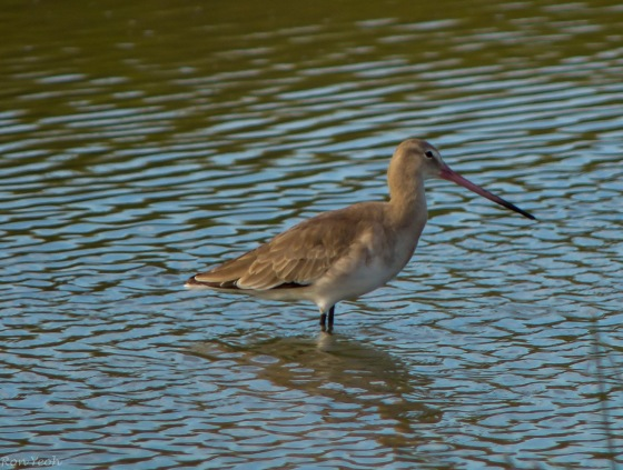 Godwit with long reddish beak