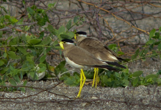 the less common yellow wattled lapwing