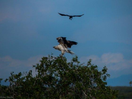 hawk eagle being harrassed by crow