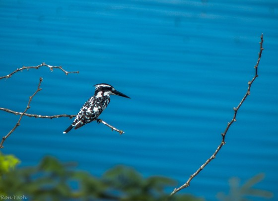 my favourite Pied Kingfisher