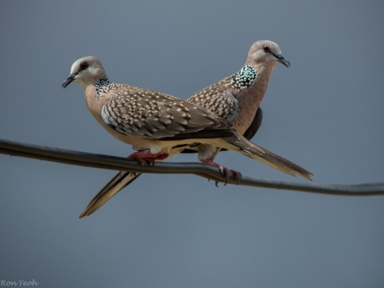 spotted doves