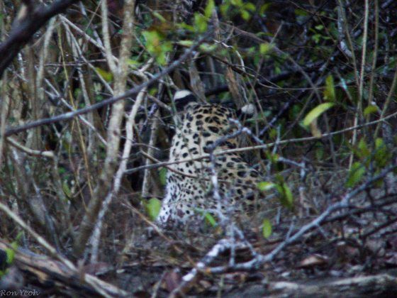 back view of leopard's head with cute white tipped ears