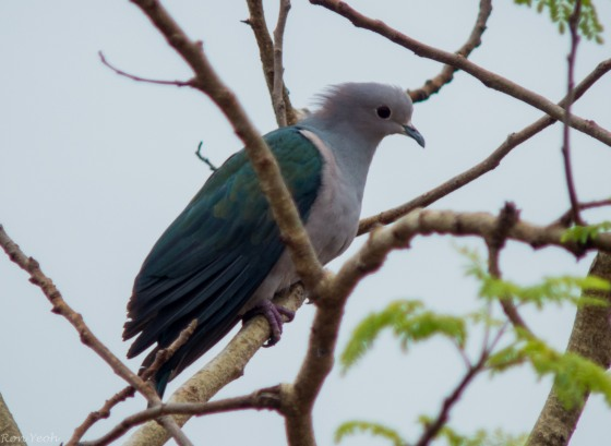 Imperial Green Pigeon