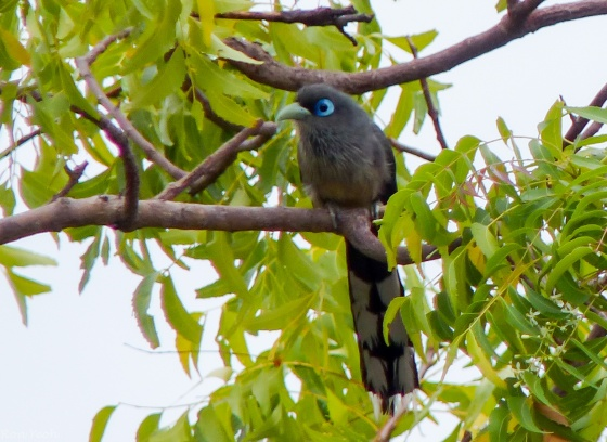 Star bird of the morning: blue faced Malkoha