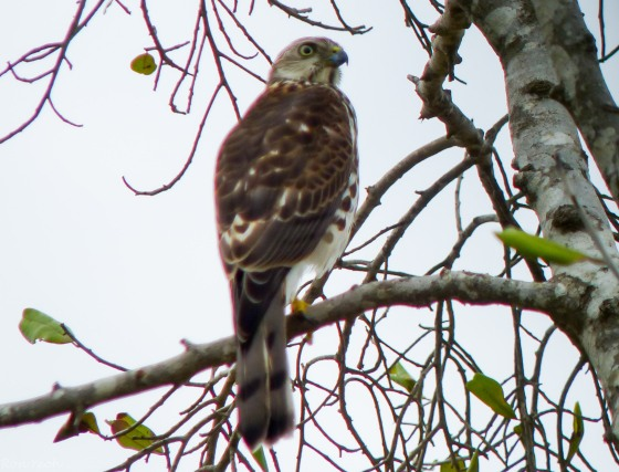 This Shikra was minding his own business