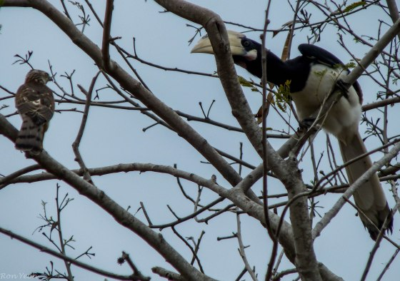 hornbill dwarfing the raptor