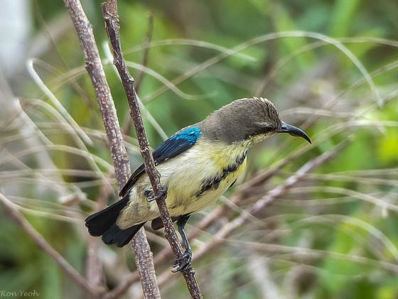 Purple rumped sunbird: male