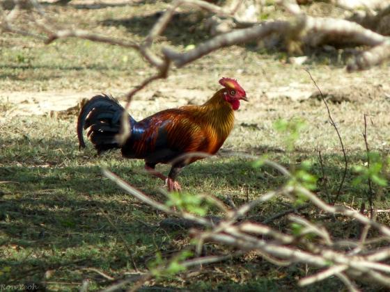 the endemic  Ceylon jungle fowl