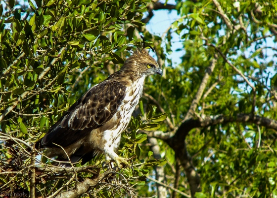 the magnificent crested hawk eagle which we saw several times