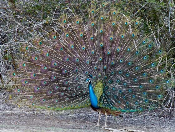 peacocks were everywhere