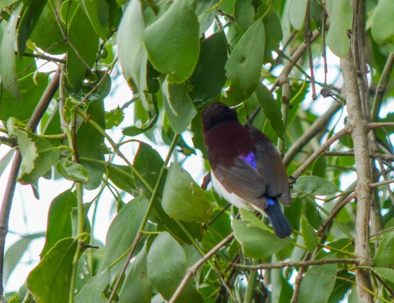 back of purple rumped sunbird showing why it's so called
