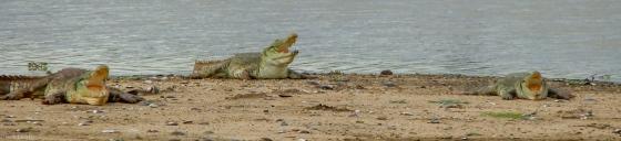 crocs were in attendance again