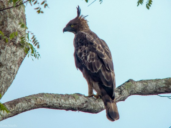 in contrast to the crested hawk eagle which we saw again