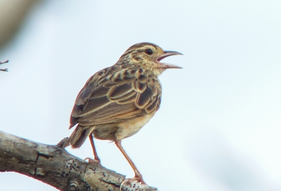 amidst all this dead desolate  wood..this bush lark sang merrily