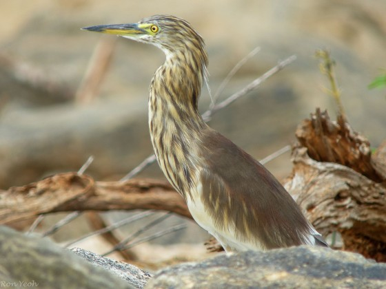 here we found an Indian Pond Heron