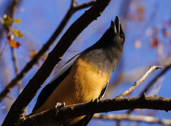 close up with the rufous treepie