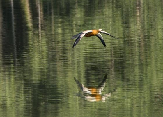 ruddy sheldrake in flight