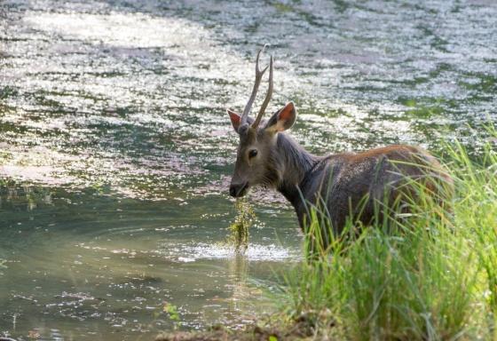 Sambar deer were everywhere