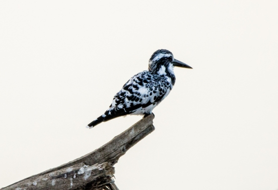 pied kingfisher drying himslef after dive