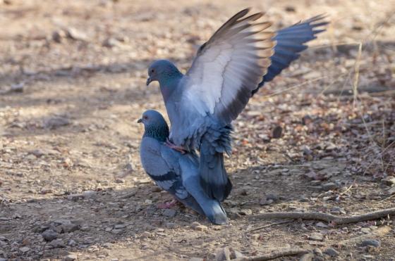 pigeons aplenty