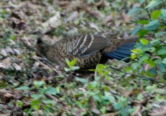 Khalij pheasant: female