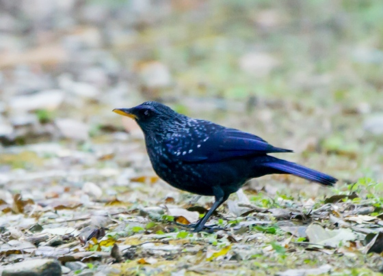 this magnificent fellow popped up several times usually on the road..the blue whistling thrush
